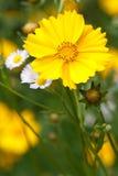 在垂直的野花背景的金鸡菊花  库存图片