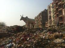 在垃圾堆的母牛  库存图片
