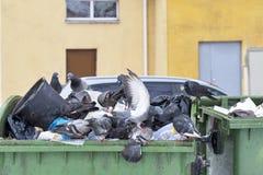 在垃圾容器的鸽子 库存图片