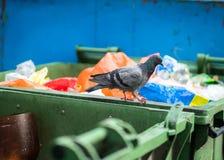 在垃圾容器,医疗保健问题的鸽子 免版税库存图片
