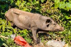 在垃圾的猪在Muang附近唱歌,老挝 库存图片