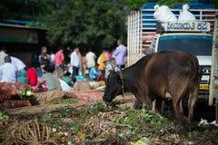 在垃圾的臀部的母牛在地方早晨市场上在霍斯佩特, Karnata 免版税库存照片