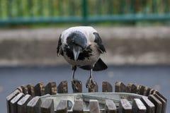 在垃圾箱的黑和灰色乌鸦在城市 免版税库存图片