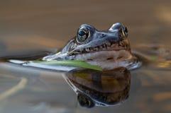 在垄沟的一只青蛙 库存图片