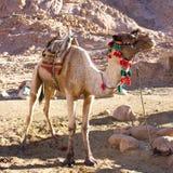 在埃及的山的骆驼 库存照片