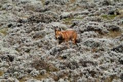 在埃塞俄比亚的大包山的埃赛俄比亚的狼在非洲 免版税图库摄影