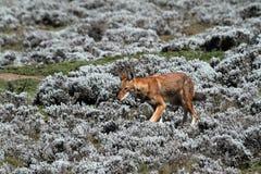 在埃塞俄比亚的大包山的埃赛俄比亚的狼在非洲 库存照片