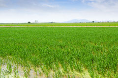 在埃布罗三角洲的米领域 免版税图库摄影