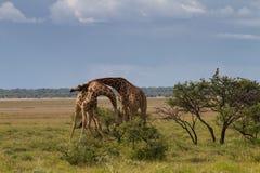 在埃托沙国家公园的战斗的长颈鹿 免版税库存图片