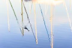 在埃默里维尔小游艇船坞的白鹭 库存图片