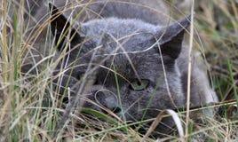 在埋伏的灰色猫 免版税库存照片