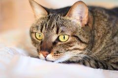 在埋伏的猫 免版税库存照片