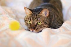 在埋伏的猫 免版税库存图片