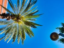 在城市中间的华美的棕榈树 免版税库存图片