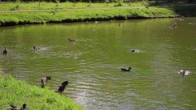 在城市公园中间的鸭子池塘 鸭子游泳在池塘 股票录像