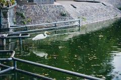 在城市公园池塘的美丽的白色海鸥 库存图片