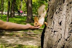 在城市公园,与一张红色毛皮的一只蓬松灰鼠,沿着走树和坚持一个人的手指,设法采取坚果 库存照片