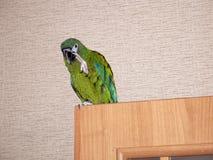 在城市公寓的家养的绿色鹦鹉 免版税库存照片