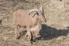 在城市动物园的幼小灰色石山羊 库存照片