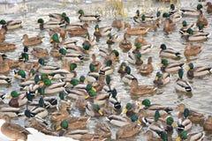 在城市池塘的野鸭冬天 库存照片