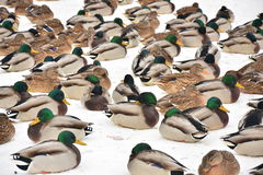 在城市池塘的野鸭冬天 免版税库存照片