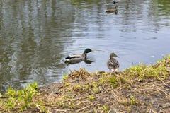 在城市池塘的鸭子 库存图片