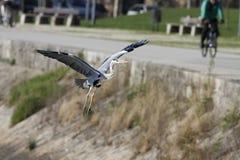 在城市河岸的苍鹭着陆 免版税库存图片
