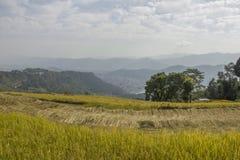 在城市的背景的一个绿色成熟的米领域在山谷 收获 免版税图库摄影