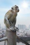 在城市的背景的Cynomolgus猴子 库存图片