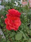 在城市花圃的两朵猩红色玫瑰 库存照片