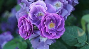 在城市花圃的玫瑰 库存图片
