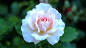 在城市花圃的玫瑰 免版税库存图片