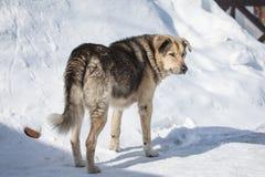 在城市街道上的无家可归的杂种动物在冷的冬天晴天 免版税库存照片