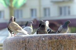 在城市` s石头喷泉的鸽子沐浴和饮用水群  免版税库存图片