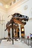 在域博物馆的暴龙Rex在芝加哥 免版税库存图片
