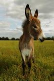 在域的一头幼小驴 免版税图库摄影