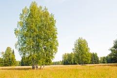 在域的俄国桦树。 库存图片