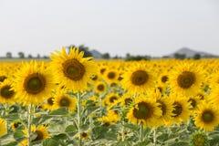 在域的向日葵 免版税图库摄影