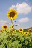 在域的向日葵 免版税库存照片