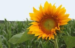 在域的向日葵 免版税库存图片