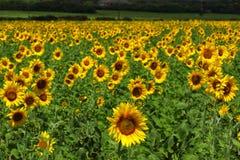 在域的向日葵 库存照片