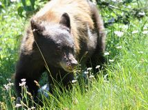 在域的新黑熊 免版税图库摄影