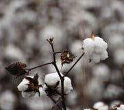 在域的棉花 免版税库存图片