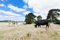 在域的母牛 免版税库存照片