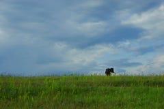 在域的母牛 免版税图库摄影