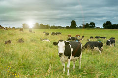 在域的母牛 库存图片