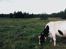 在域的母牛 免版税库存图片