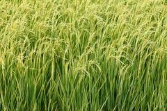在域的绿色水稻。 图库摄影