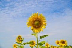 在域的美丽的向日葵 免版税库存图片
