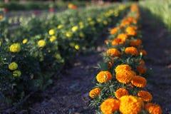 在域的花 美丽的宏观春天主题郁金香 免版税库存照片